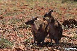 22-zwierz-kangury