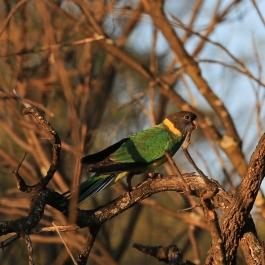 22-zwierz-papuga-coalseam-conservation-park