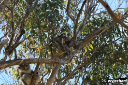 26-zwierz-koala-pn-yanchep
