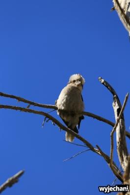 29-zwierz-kukabarra-pn-yanchep