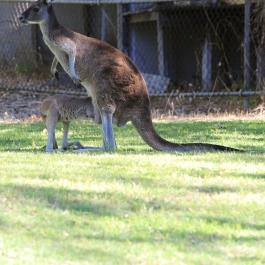 30-zwierz-kangur-pn-yanchep