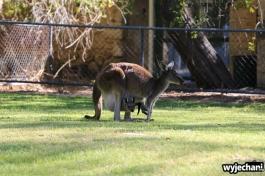 31-zwierz-kangur-pn-yanchep