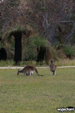32-zwierz-kangur-pn-yanchep