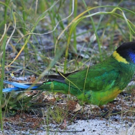 35-zwierz-papuga-pn-yanchep