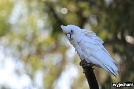 36-zwierz-papuga-pn-yanchep
