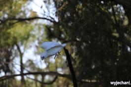 37-zwierz-papuga-pn-yanchep