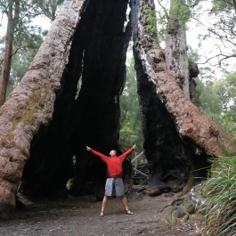 101-pn-walpole-nornalup-giant-tingle-tree
