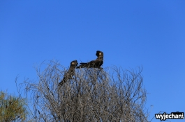 15-zwierz-papuga-pn-kalbarri