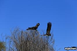 16-zwierz-papuga-pn-kalbarri