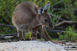 12-kangur