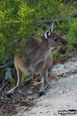 13-kangur