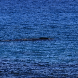 14-wieloryb-southern-right-whale