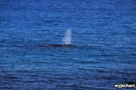 15-wieloryb-southern-right-whale