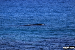 16-wieloryb-southern-right-whale