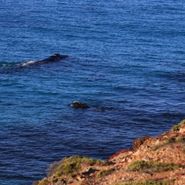 17-wieloryb-southern-right-whale