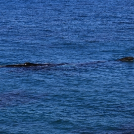 18-wieloryb-southern-right-whale