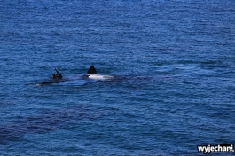 19-wieloryb-southern-right-whale