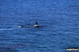 20-wieloryb-southern-right-whale