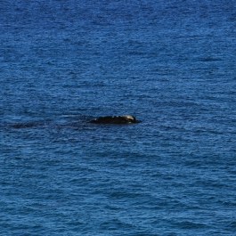 21-wieloryb-southern-right-whale