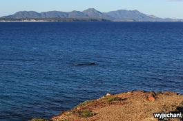 22-wieloryb-southern-right-whale