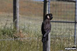 29-carnabys-black-cockatoo