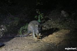32-kangur-noca