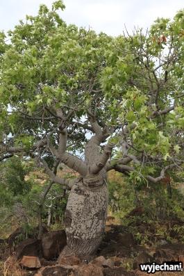 drzewo butelkowe