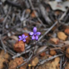 Purple Enamel Orchid